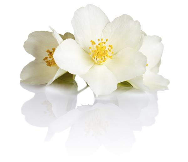 and spiritual meaning of jasmine flowers, Natural flower